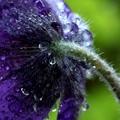 翁草の水滴