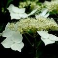 写真: 白色の額紫陽花