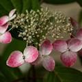 写真: 山紫陽花(あけぼの)