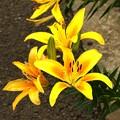 写真: 黄色い百合の開花