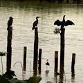 川鵜の居る伊佐沼