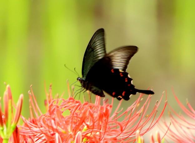 黒揚羽蝶1