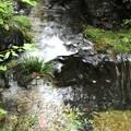 写真: 檜原村の渓流
