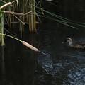 写真: カワセミと鴨