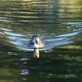 写真: 鴨の直進の波紋