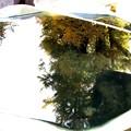 水盤への大銀杏の反映