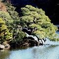 Photos: 新宿御苑の松