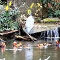 Photos: アオサギとオシドリの池(新宿御苑)