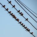 Photos: 並んで止まる習性の雀