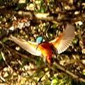 カワセミの羽ばたき