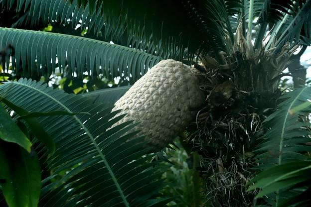 熱帯植物 実が大い(名前不明)