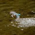 カワセミ飛び込み魚ゲット飛行