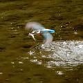 カワセミ飛び込み魚ゲット飛行2