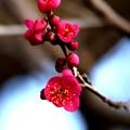 紅梅咲き始める