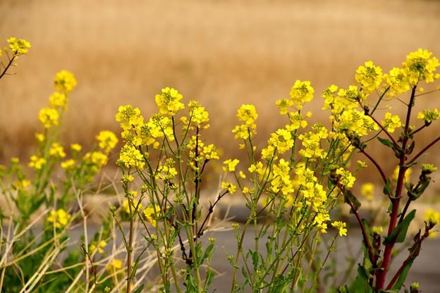 菜の花(荒川土手)