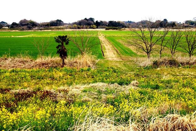 菜の花と田園風景