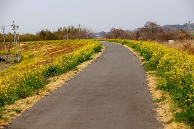 荒川土手の菜の花3