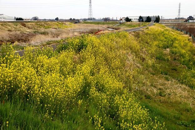 小畔川と菜の花5