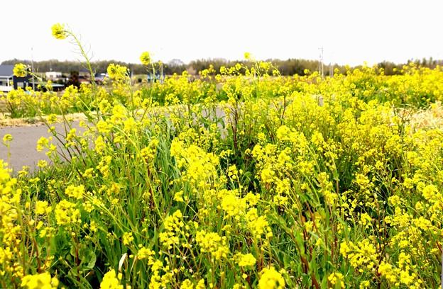 小畔川と菜の花6