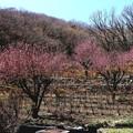 桃の花咲く小川町
