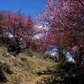 桃の花咲く山