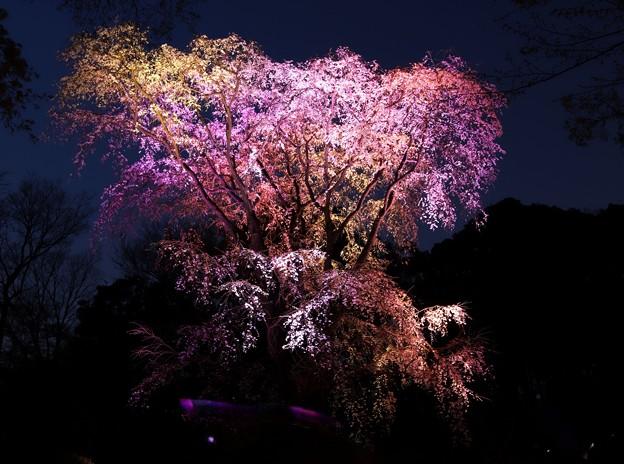 三色のライトアップの第二の枝垂れ桜