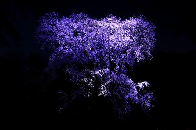 青白いライトアツプの第二の枝垂れ桜