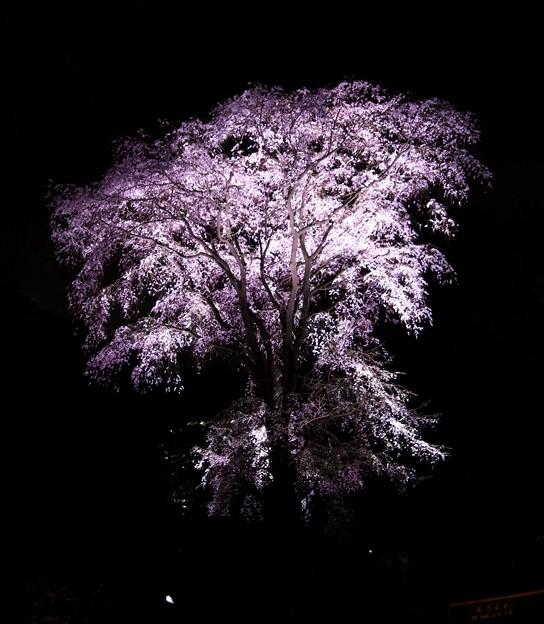 ライトアップした枝垂れ桜(六義園)