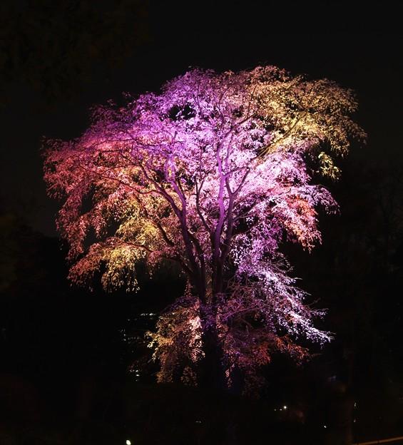ライトアップした枝垂れ桜(六義園)2