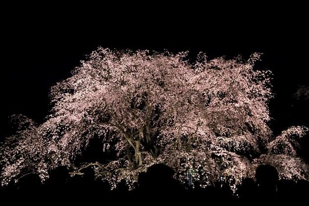 六義園 枝垂れ桜ライトアップ
