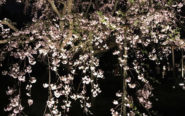 六義園 枝垂れ桜ライトアップ5