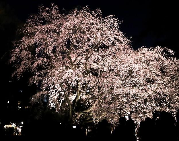 六義園 枝垂れ桜ライトアップ6