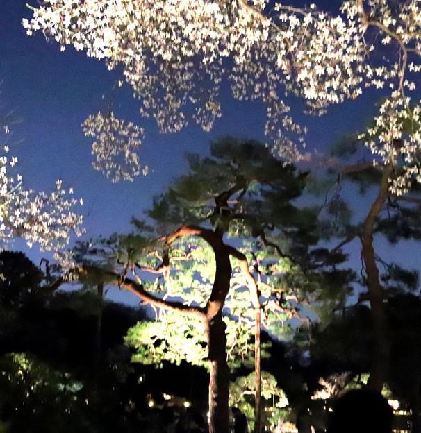 辛夷と赤松のライトアップ