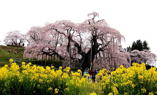菜の花と三春滝桜1