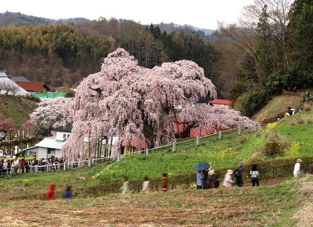 三春滝桜風景