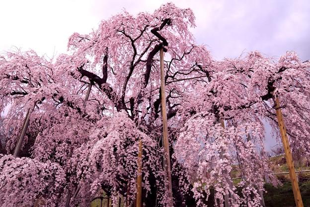 壮観な三春滝桜
