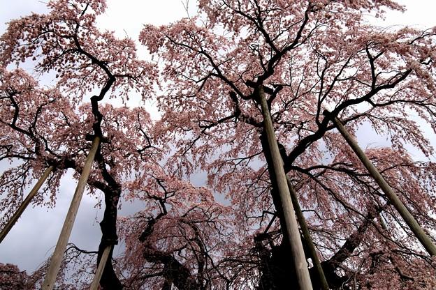 三春滝桜下から