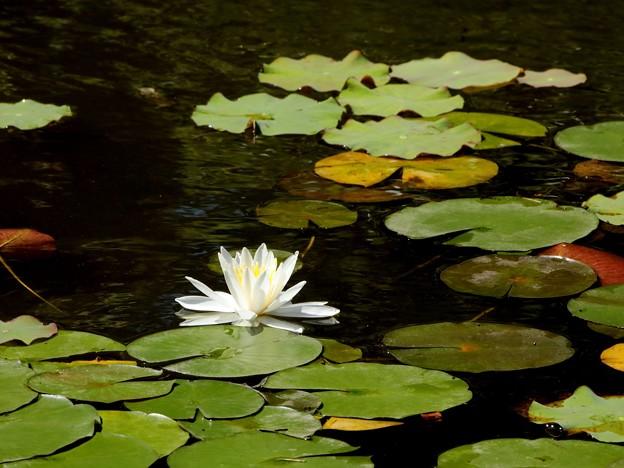 睡蓮の咲く日本庭園