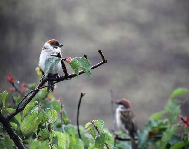 雨の日の雀