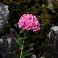Photos: 紫陽花のお迎え