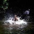 Photos: マガモの水浴び
