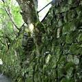 Photos: 石垣の中の樹木