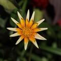 Photos: 星形の花