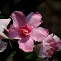 Photos: 薔薇の花のお迎え
