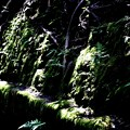 Photos: 法然院の土手の苔風景