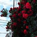 写真: 紅薔薇
