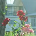 写真: 薔薇の館