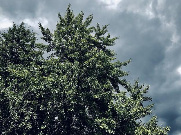 曇天の銀杏