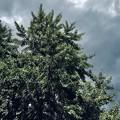 写真: 曇天の銀杏