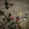 写真: 寒椿